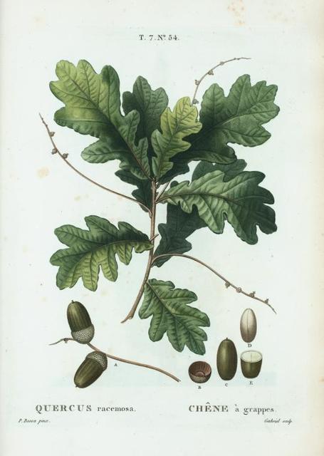 Quercus racemosa = Chéne à grappes.