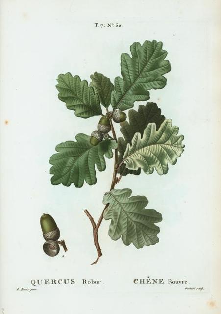 Quercus robur = Chéne rouvre. [Pedunculate Oak, Truffle Oak, Common Oak, English Oak. Irish Dair]