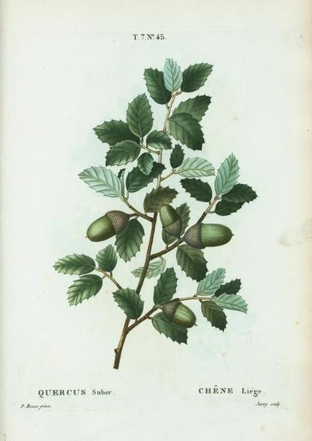 Quercus suber = Chéne liége. [Cork oak, Mediterranean oak]