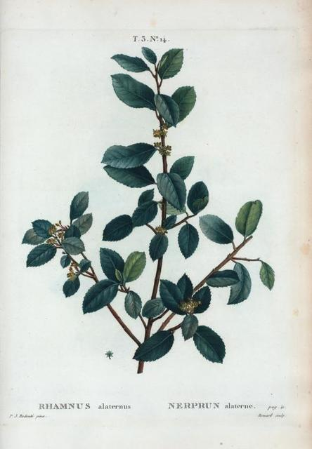 Rhamnus alaternus = Nerprun alaterne.