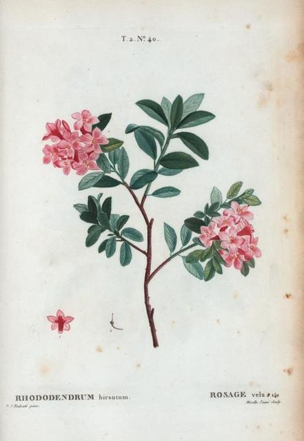 Rhododendrum hirsutum = Rosage velu.