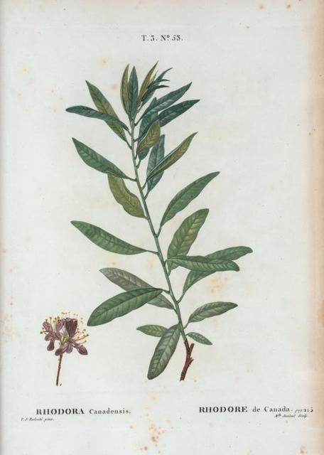 Rhodora Canadensis = Rhodore de Canada. [Rhododendron]