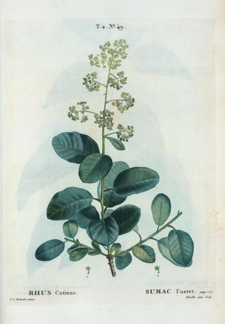 Rhus cotinus = Sumac Fustet.