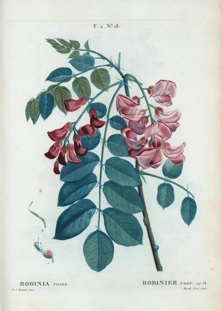 Robinia rosea = Robinier rose.