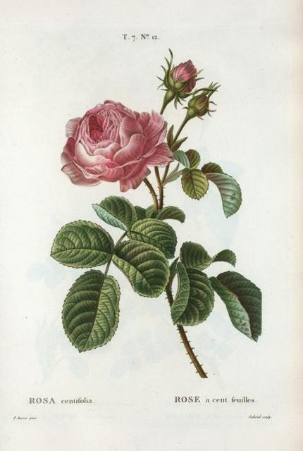 Rosa centifolia = rose à cent feuilles. [Pale rose, Hundred-leaved or Cabbage rose]