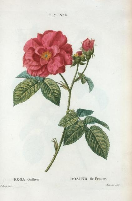 Rosa Gallica = Rosier de France. [Red Rose, The Apathecary's Rose, The Red Rose of Lancaster, Rose de province]