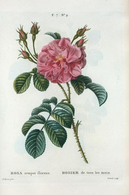 Rosa semper florens = Rosier de tous les mois. [Ever-blowing Rose,China Rose, Bengal Rose]