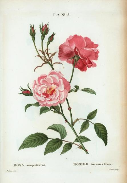 Rosa semperflorens = Rosier toujours fleuri. [Ever-blowing rose, china rose, Bengal rose]