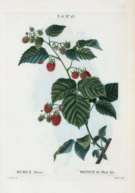 Rubus idæus = Ronce du Mont Ida. [European Raspberry]