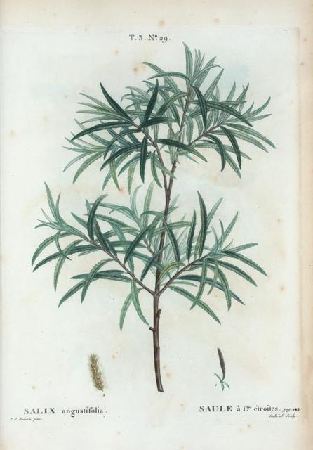 Salix angustifolia = Saule à flles. étroites.