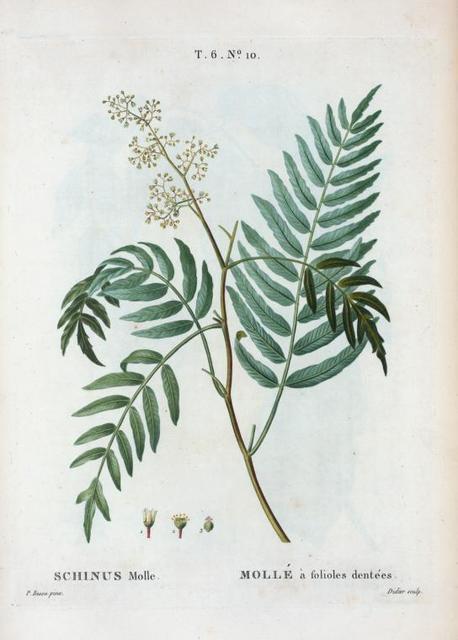 Schinus molle = Mollé à folioles dentées. [Brazilian pepper tree, Peruvian music tree, California pepper tree etc.]