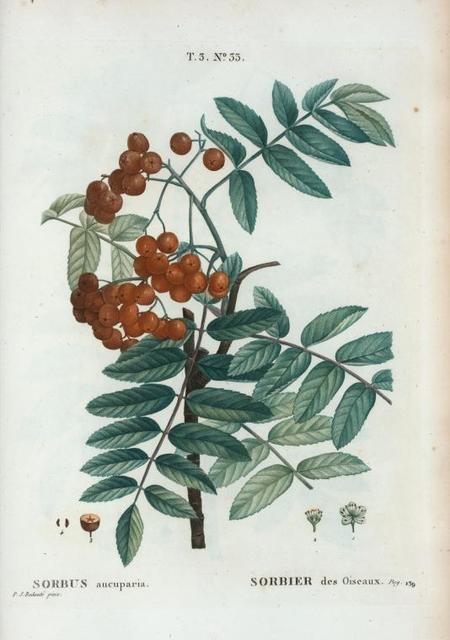 Sorbus aucuparia = Sorbier des Oiseaux. [Rowan or the European Mountain Ash tee]