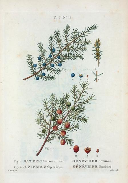 Spiræa opulifolia = Spirée à feuilles d'Obier. [NIne bark]