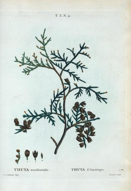 Thuya occidentalis = Thuya d'Amérique.