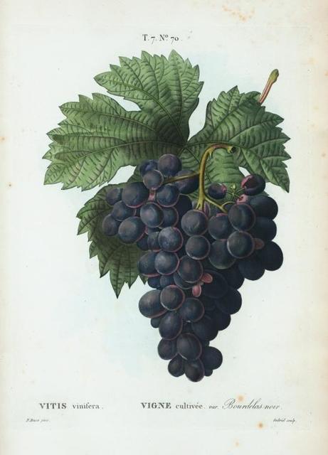 Vitis vinifera = Vigne cultivée. var. Bourdekas noir.