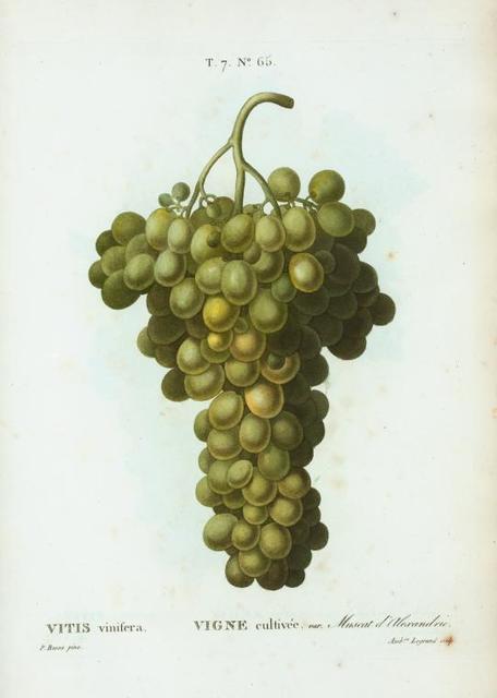 Vitis vinifera = Vigne cultivée. var. Muscat d'Alexandrie.