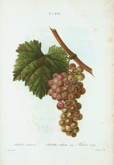 Vitis vinifera = Vigne cultivée. var. Muscat rouge.