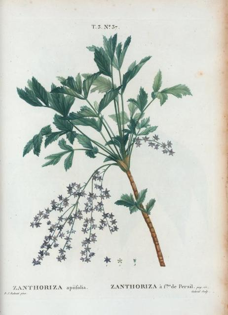 Zanthoriza apiifolia = Zanthoriza à flles. de Persil. [Shrub yellow root]