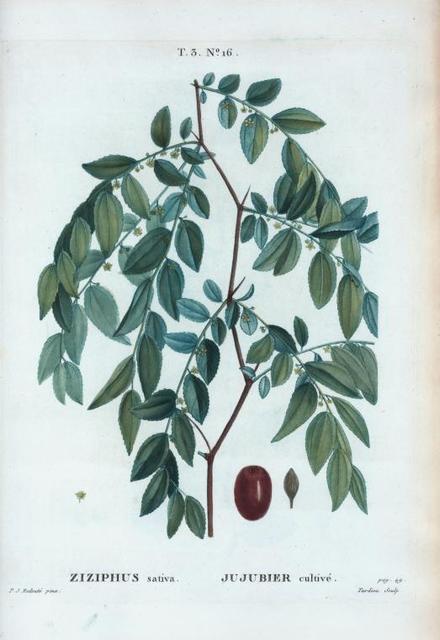 Ziziphus sativa = Jujubier cultivé.