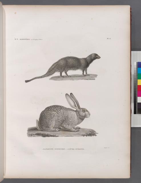 Zoologie. Mammifères. 1. Mangouste ichneumon; 2. Lièvre d'Égypte.