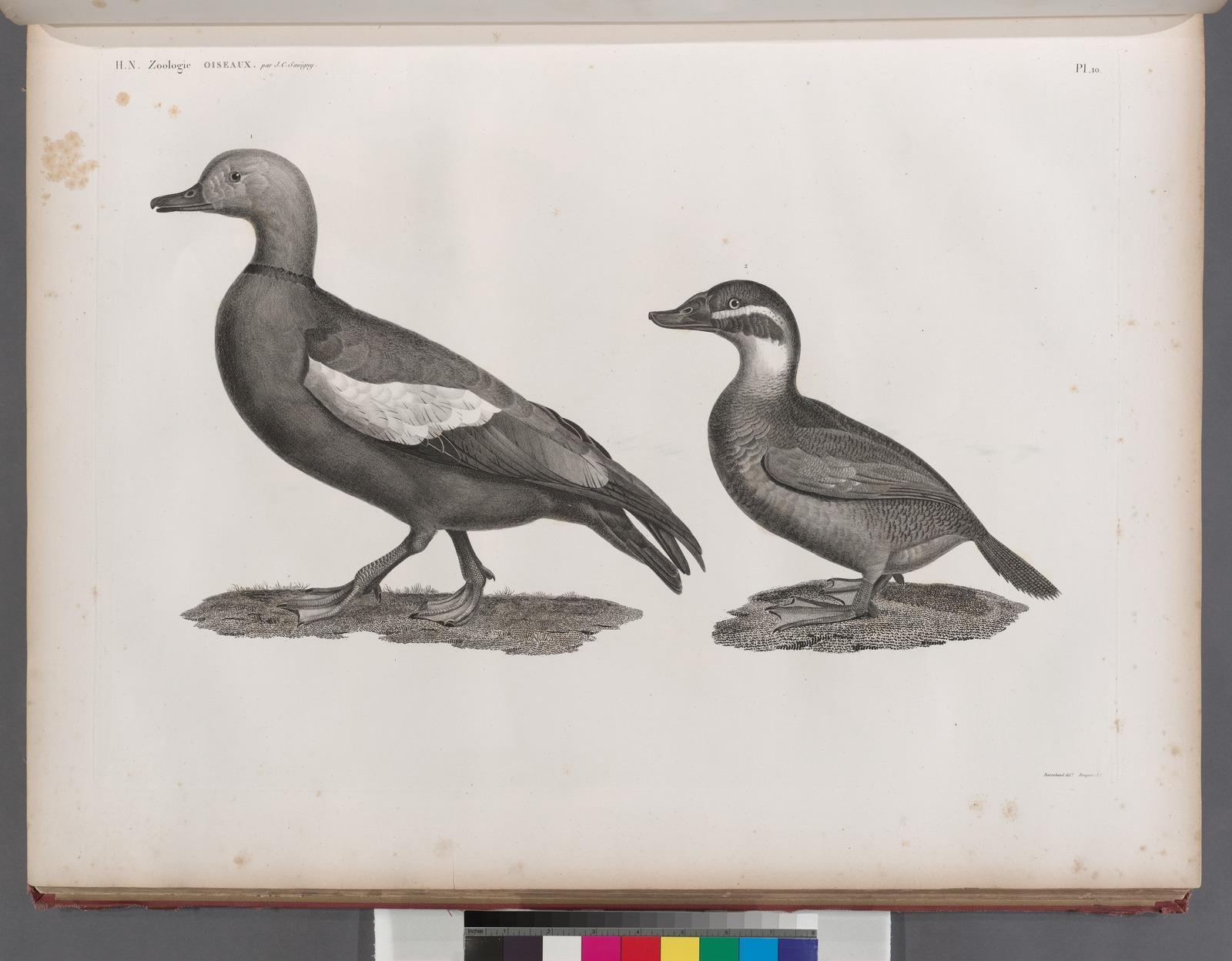 Zoologie. Oiseau. 1. Canard casarca (Anas casarca); 2. Canard à tête blanche (Anas leucocephala).