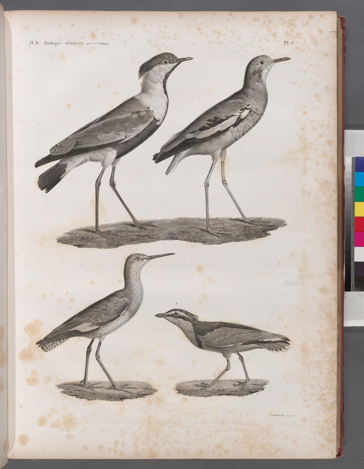 Zoologie. Oiseau. 1. Chevalier gambette (Totanus calidris); 2. Vanneau de Villoteau (Vanellus Villotæi); 3. Pluvier à aigrette (Charadrius spinosus); 4. Pluvian (Charadrius melanocephalus).