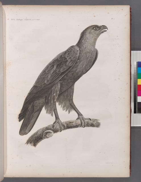 Zoologie. Oiseau. Aigle criard (Aquila nævia), adulte.