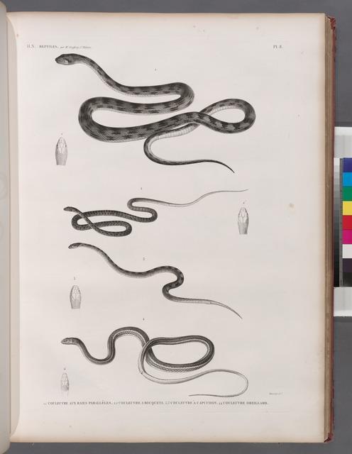 Zoologie. Reptiles. 1.1'. Couleuvre aux raies parallèles; 2.2'. Couleuvre à bouquets; 3.3'. Couleuvre à capuchon; 4.4'. Couleuvre oreillard.