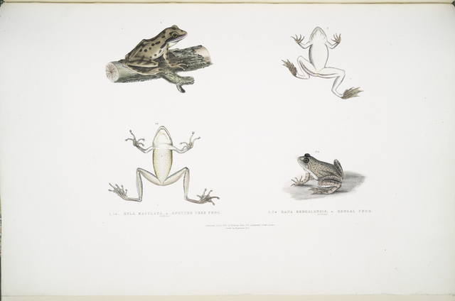 1, 1a. Spotted Tree Frog, Hyla maculata; 2, 2a. Bengal Frog, Rana Bengalensis.