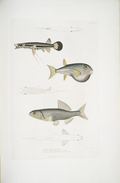 1. Beautiful Diplopterus, Diplopterus pulcher. Natural size ; 2. Smooth-headed Tetraodon, Tetraodon leiopleura. Indian Ocean. Natural size; 3. Chedra Carp, Cyprinus Chedra. Rivers of Bengal. Natural size.