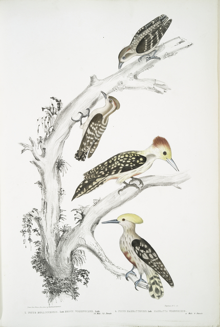 1. Brown Woodpecker, Picus Molluccensis. Male and Female; 2. Mahratta Woodpecker, Picus Mahrattensis. Male and Female.