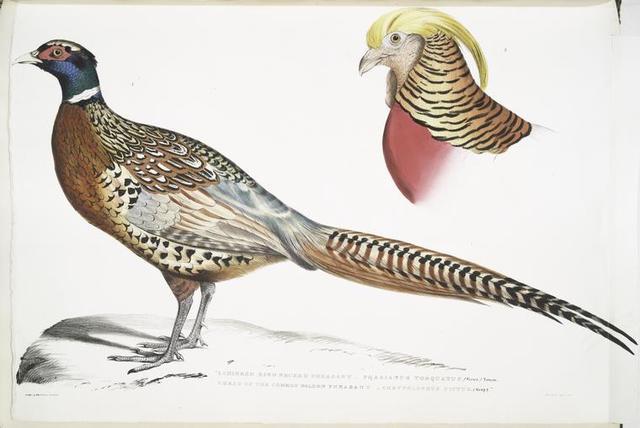 1. Chinese Ring Necked Pheasant, Phasianus torquatus; 2. Head of the Common Golden Pheasant, Chrysolophus pictus.