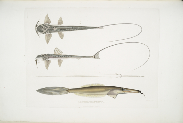 1. Coach Whip Sisor. Sisor Rabdophorus. Janma. 1/6 Natural size ; 2. Bearded File Fish,  Balistes (Anacanthus) barbatus.