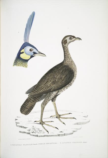 1. Concentric Francolin (female), Perdix concentrica;  2. Javan Peacock, Pavo muticus. (Head)