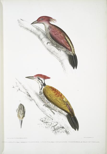 1. Crimson Woodpecker, Picus mineatus; 2. Indian three-toed Woodpecker, Picus Tiga; 3. A head of Female.