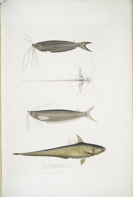 1. Cuvier's Acanthonotus, Silurus (Acanthonotus) Cuvieri; 2. Bengal Ailia, Malapterus (Ailia) Bengalensis; 3. Hamilton's Coilia, Engraulis (Coilia) Hamiltonii. n. Rivers Bengal, nat. size.