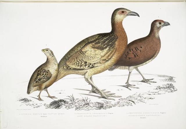 1. Ferrugineous Cryptonyx, Cryptonyx ferrugineus; 2. Long Billed Francolin, Francolinus longinostris; 3. Pental Quail, Coturnix Pentah.