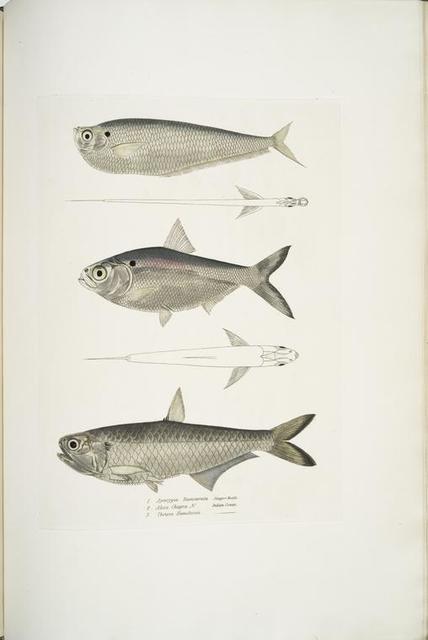 1. Finless Ramcarata, Apterygia Ramacarata; 2. Chapra Shad, Alosa Chapra; 3. Dr. Hamilton's Long Jawed Herring, Thrissa Hamiltonii.