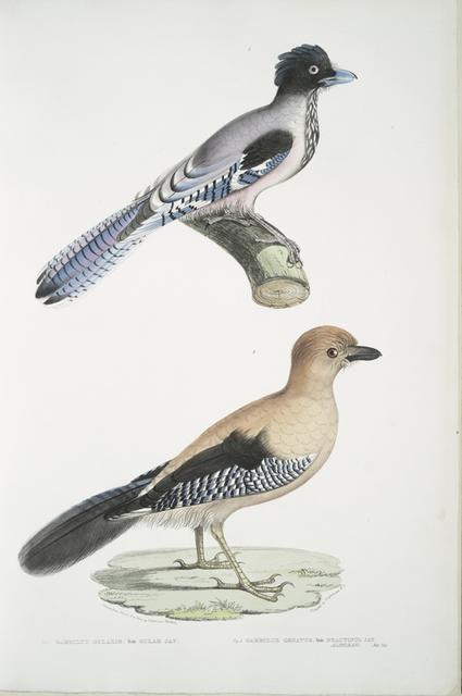 1. Gular Jay, Garrulus gularis; 2. Beautiful Jay, Garrulus ornatus. Natural size.