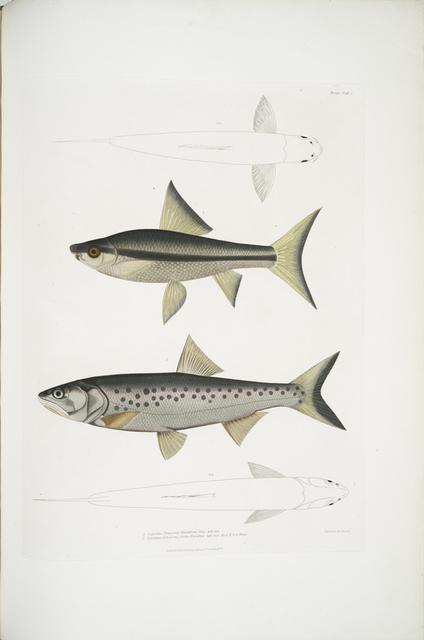 1. Hamilton's Carp, Cyprinus (Bangana) Hamiltonii. Nat. size ; 2. Goha Carp,  Cyprinus (Leuciscus) Goha. Natural size. Kosi & Son River.