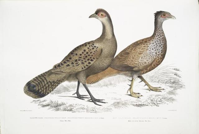 1. Hardwicke's Polyplectron Hen, Polyplectron Hardwickii. China. Brit. Museum; 2. Bay Francolin [Bay Many Spurred Francolin], Plectophora (Francolinus) spadiceus. Kokee tree of the Mahrattas. Brit. Museum.