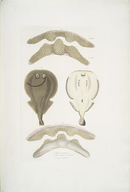 1. Hardwick's One Finned Torpedo, Temera Hardwickii; 2. Jaws of the Chinese Ray, Rhina ancylostoma [Anchylostomus]. A. Upper, B. Lower Jaw.