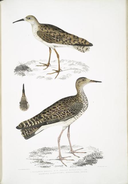 1. Indian Sandpiper, Totanus Indicus; 2.  Bhegondee [Bhegondic] Snipe, Limosa Hardwickii.