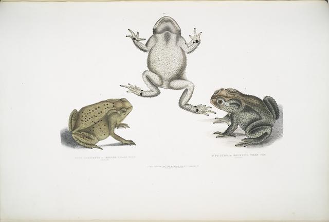 1. Keeled Nosed Toad, Bufo carinatus; 2, 2a. Doubtful Toad,  Bufo dubius. Bengal.