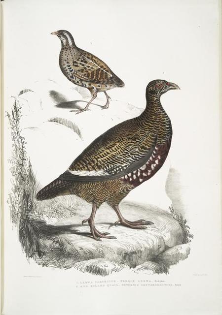 1. Lerwa Partridge, Perdix Lerwa; 2. Red Billed Quail, Coturnix erythrorhyncha [erythroryncha].