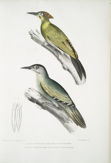 1. Nepaul Woodpecker, Picus Nepaulensis; 2. Moustache Woodpecker, Picus barbatus.