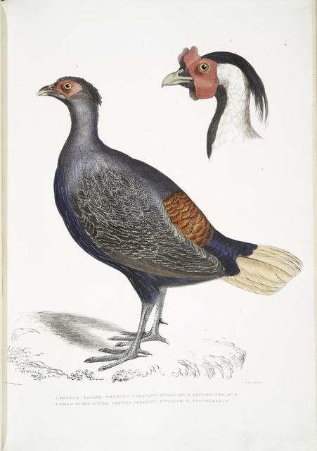 1. Rufous Tailed Crested Pheasant,, Euplocomus erythrothalmus; 2. Head of Silver Crested Pheasant,, Euplocomus Nycthemerus.