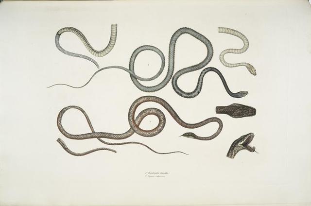 1. Side Streaked Tree Snake, Dendrophis lateralis; 2. Reddish Dip[s]as, Dipsus [Dipsas] rubescens.