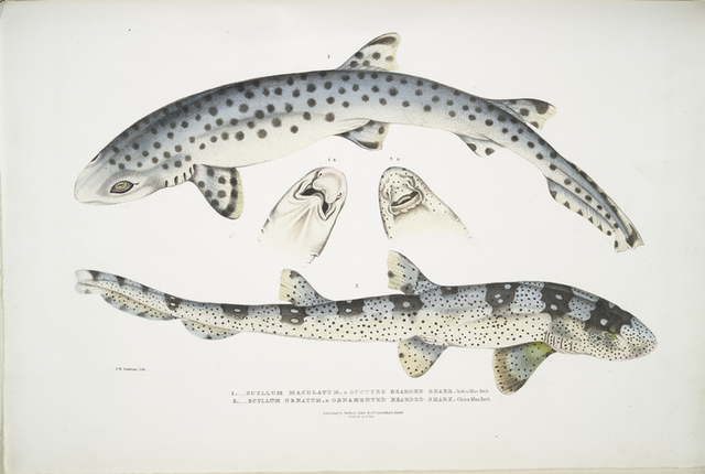 1. Spotted Bearded Shark, Scyllum [Scyllium] maculatum. India, Mus. Brit.; 2. Ornamented Bearded Shark, Scyllum [Scyllium] ornatum. China, Mus. Brit.