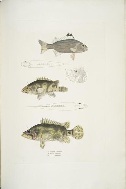 1. Three Banded Pterapon, Pterapon trivittatus; 2. Clouded Bedula, Bedula nebulosus; 3. Dr. Hamilton's Bedula, Bedula Hamiltonii.